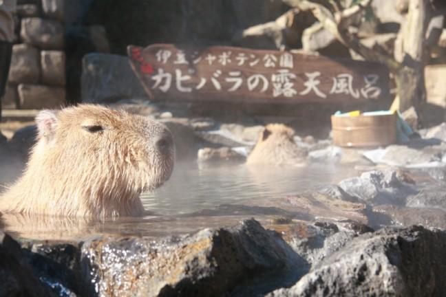 今年もたくさん癒してください♡「元祖カピバラの露天風呂」であなたもホッと一息♪