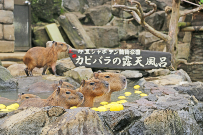 カピバラのゆず湯で心がポカポカ温まる♡伊豆シャボテン動物公園のカピバラファミリーに会いに行こう♪