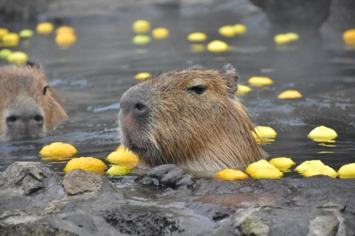 2020年はねずみ年☆ねずみの仲間「カピバラ」の露天風呂が伊豆シャボテン動物公園で今年も始まりました!